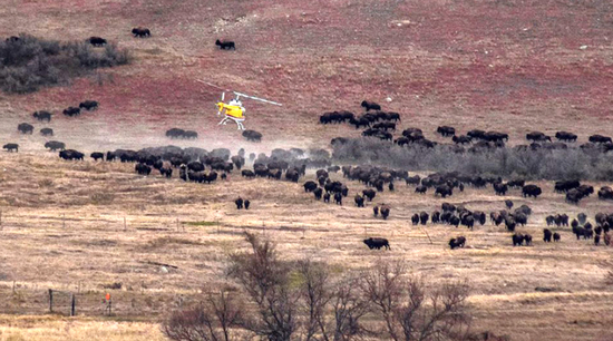 Share International January / February 2017 images, Wild buffalo appear at Standing Rock